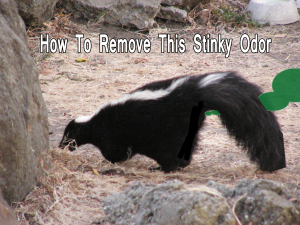 How to remove a smelly skunk odor